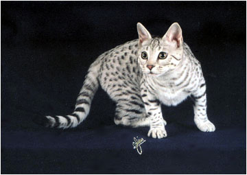 Foothill Felines Spooky Spots, an F3 generation silver spotted Savannah queen