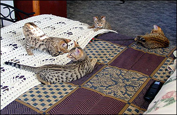 Last Photo of Slide Show - All 4 of Madolyn's kittens on the bed at 12 weeks old!!