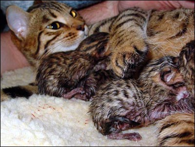 New Mother Foothill Felines Madolyn of Baju Bengals wants to share her newborn babies with Judy and Bart Brodland, the human family she loves at Baju Bengals.