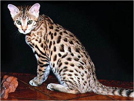 Junglebook Blond and Beautiful, a gorgeous F2 Bengal foundation queen whose grandfather was an Asian Leopard Cat