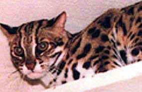 Kabuki, famous and prolific Asian Leopard Cat