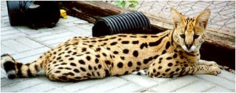 Keystone of SelectExotics, the Serval ancestor of both our Sandy Spots and Sunny Spots!
