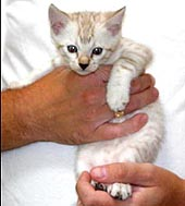 Foothill Felines Lacie of Fire'N'Ice Bengals, a gorgeous spotted seal lynx point female Bengal at 6 weeks old!