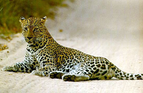 Gorgeous leopard laying outside