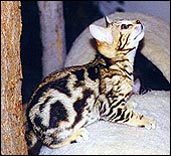 Foothill Felines Macy, a Baby Bengal Kitten at 11 weeks old!