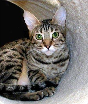 Black and grey bengal cat