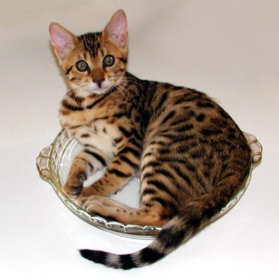 Serrano MaiTai of Foothill Felines as a kitten playing in the pie dish!!