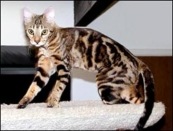 Foothill Felines Manzanita, a gorgeous SBT pedigreed Bengal breeding queen and show cat.  One of the most beautiful and wild type marble Bengals we've ever produced!