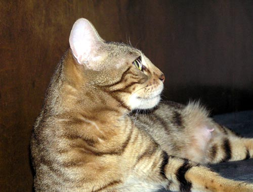 Photo of marble Bengal Double Champion Foothill Felines Manzanita, 