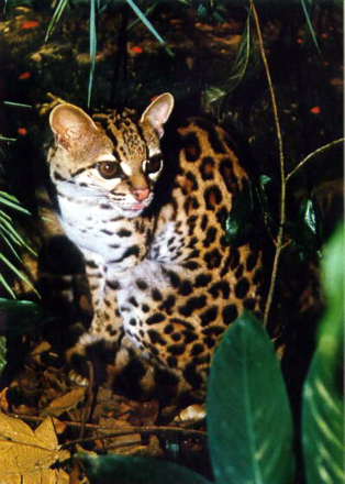 Margay Cat