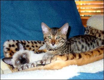 Foothill Felines Maxmillian, a rosetted golden spotted Bengal male kitten, with his new friend Boo!