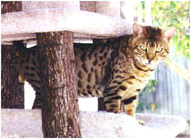 Foothill Felines Metallica, an F6 Bengal stud, son of SGC Heritage Kimo of Almaden and Gogees Marshamelo of Foothill Felines