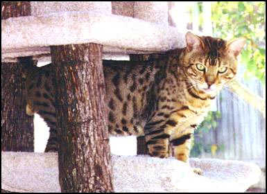 Foothill Felines Metallica is a famous son of SGC Heritage Kimo of Almaden and Gogees Marshamelo of Foothill Felines!