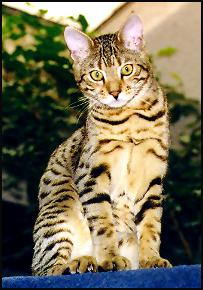 Handsome Metallica was home raised just like all our Bengal kittens in our home cattery at Foothill Felines Bengals in California!