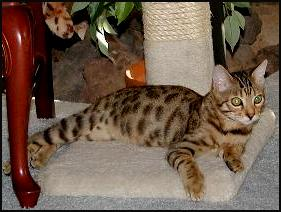Miami Spice at 4 months old, showing off his exclusive charisma and style, as well as his terrific spotted Bengal coat!