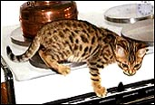 Bengal Cat name ideas that are humorous, religious, fun, cute, beautiful, famous and more, from HDW Enterprises!