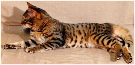 Millwood Silk n Cinders, a gorgeous F4 Bengal foundation stud; the first Bengal to have glitter and an extremely clear coat