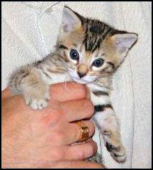 Cute leopard tawny Bengal female with lots of spirit at 4 weeks old!
