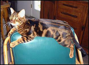 Plush, pelted and glittered marble Bengal Mobi at 1 year old!