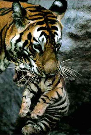 Mother Tiger carrying her cub in her mouth