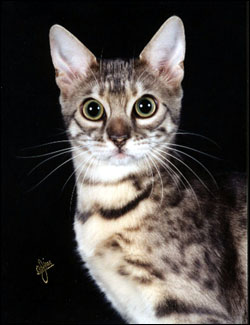 Moodie Blue is a green eyed blue spotted tabby Bengal with lots of pelt and glitter!!