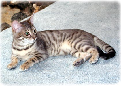Foothill Felines Moodie Blue, gorgeous blue spotted Bengal queen