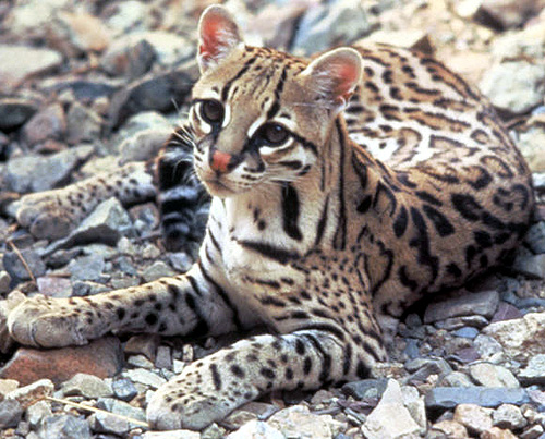 The Ocelot, hunted nearly to extinction for their beautiful fur