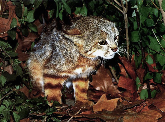 The Pampas Cat comes in many color variations