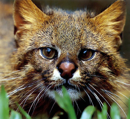 The Pampas cat lives in grasslands and forests