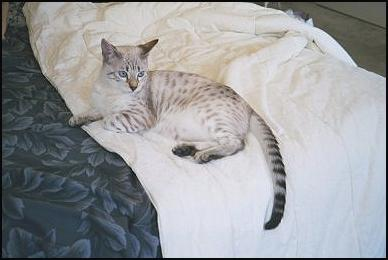 Pearl, a very typey, pelted  show quality SBT leopard spotted blue eyed seal lynx point snow Bengal, F-7 generation!