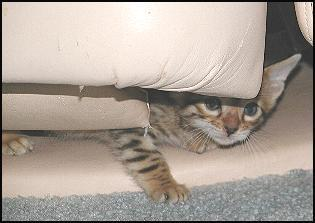 Foothill Felines 5 weeks old kitten playing under recliner!!