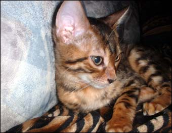 Foothill Felines Renny, a gorgeous leopard spotted SBT Bengal female kitten at 12 weeks!