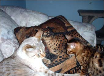 Foothill Felines Renny and Akemi, 2 gorgeous leopard spotted SBT Bengal female kittens!