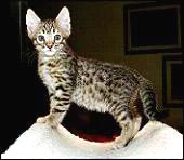 Foothill Felines Rhett, a gorgeous, black spotted Bengal male at 7 weeks old!