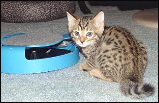 Foothill Felines Bengal kittens enjoying playing with the fishing fly toy from HDW's on-line Feline Toy Store!