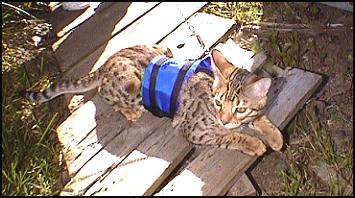 Junior in his cat walking jacket, a special harness available through HDW Enterprises just for leash training cats, seen here at 6 mo. old!