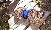 How to teach your Bengal cat to use a leash and harness for outdoor safety