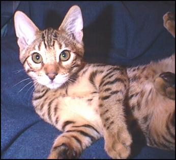 Junior, a gorgeous, rufoused leopard spotted Bengal male, at 14 weeks old!