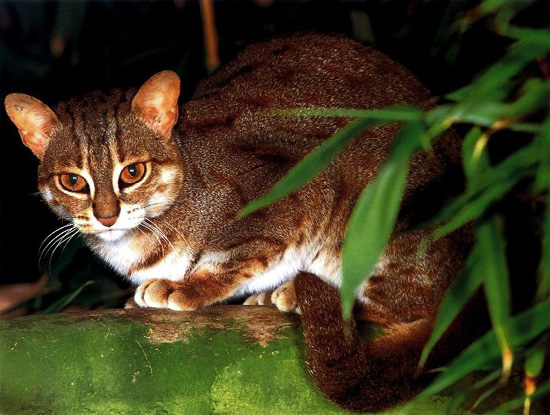 Rusty Spotted Cat in beautiful portrait at HDW's Big Cats!