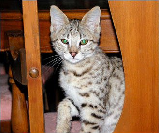 Sandy Spots Savannah Female F2 Kitten at 11 weeks old - her grandfather is an African Serval!