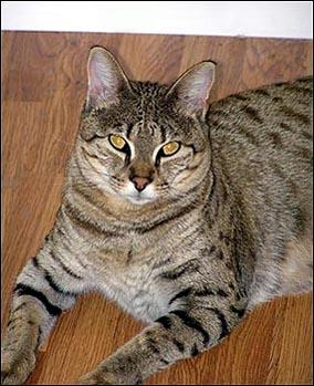 Bengal Cat Breeder Foothill Felines Presents Cats