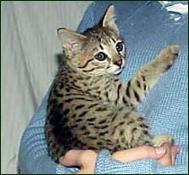 Sandy Spots Savannah Female F2 Kitten at 7 weeks old - her grandfather is an African Serval!