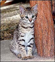 Beautiful breeding queen at Foothill Felines - SelectExotics Sandy Spots of Foothill Felines, an F2 Savannah.  Her grandfather is an African Serval!