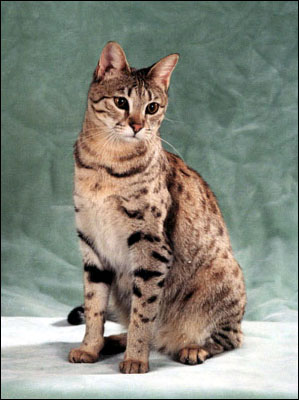 Sandy Spots is a beautiful Savannah female - Savannahs are the largest domestic cat breed currently available, and are still very rare!!