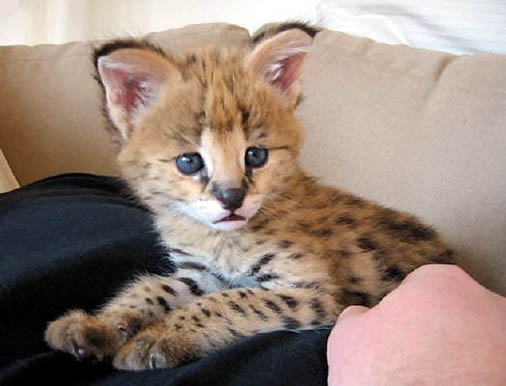 http://www.hdw-inc.com/servalcub1servalsorg.jpg