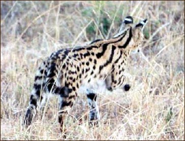 The African Serval is the foundation cat for the new domestic cat breed called Savannahs