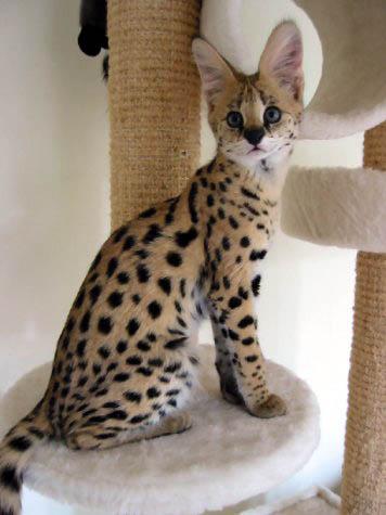 List of Cat Breeds Types of Cats Breeds Descriptions