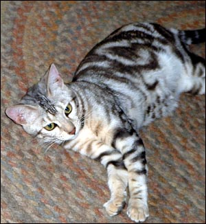 Silver marble female Bengal kitten at 6 months!
