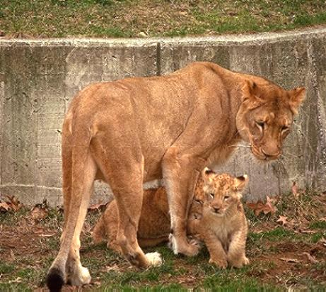 Barbary Lioness with cubs at HDW's Big Cats picture section.