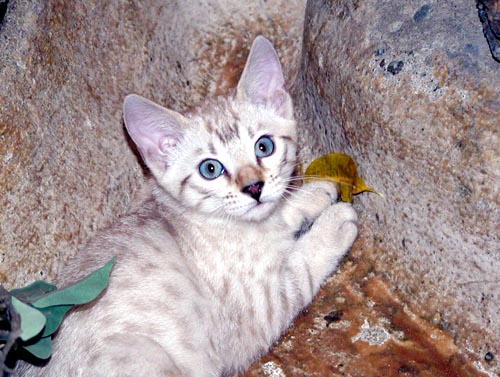South african bengal cat breeder